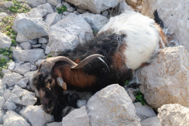Fiscalía rechaza retirar las cabras que quedan vivas en es Vedrà