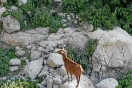 Los animalistas deberán esperar para saber si pueden rescatar a las cabras de Es Vedrà aún con vida