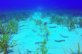 Red Eléctrica y el Imedea plantan 120 posidonias en la bahía de Talamanca