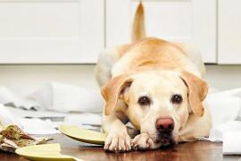 ¿Qué hacer si mi perro mordisquea y rompe los objetos de casa?