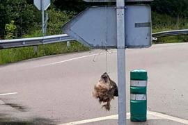 Encuentran la cabeza de un lobo colgada en una señal de tráfico en La Doriga