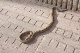 Vermehrte Schlangenmeldungen auf Ibiza und Formentera