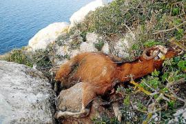 Los juzgados rechazan otra vez rescatar a las cabras vivas de es Vedrà y retirar los cuerpos