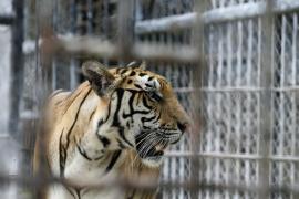 Un tigre mata a una trabajadora de Terra Natura en Benidorm