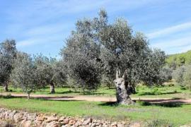 """Los productores de aceite de Ibiza temen que la próxima cosecha sea """"la peor de los últimos años"""" por la sequía"""