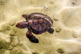 Rescatan en ses Bledes una tortuga boba bebé de solo 4,6 kilos y 24 centímetros