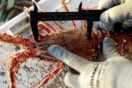 Las capturas de langosta en Ibiza se han mantenido este año en los 3.500 kilos