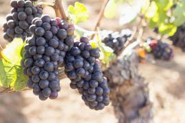 Autorizada en Baleares la variedad de uva autóctona escursac