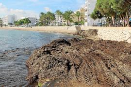 Santa Eulària devuelve la posidonia a sus playas