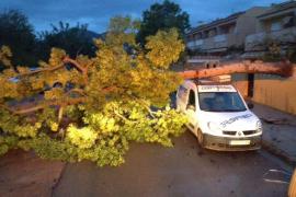 El viento tumba una docena de árboles en la Plaça del Parc