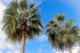 Formentera reduce en casi un 24% la propagación del picudo