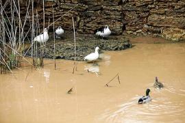 El campo ibicenco recibe con esperanza las lluvias pese a las pérdidas ocasionales