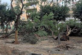 Vila plantará nuevos árboles sin fruto en la plaza del Parc