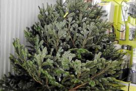 Los abetos naturales para Navidad escasean este año en toda Ibiza