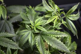 Detenidos por cultivar marihuana usando música relajante para estimular su crecimiento