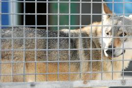 La cifra de adopciones en sa Coma crece, pero también la de perros abandonados