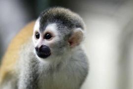 La Guardia Civil busca 42 monos tití que podrían ser portadores del virus VIH