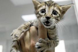 Exigen a los ayuntamientos que hagan campañas de esterilización de gatos