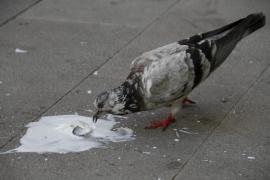 Un tribunal confirma la invalidez a una guía que enfermó por los excrementos de las palomas