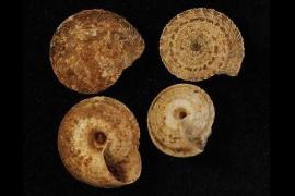 Denuncian una página web por vender conchas de caracoles de Baleares