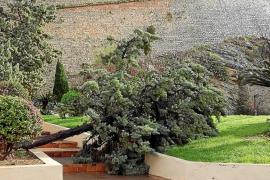 La cola del temporal se lleva por delante más árboles en Vila y Santa Eulària