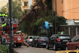 El viento tumba un pino en Platja d'en Bossa