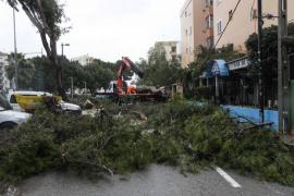 Las fuertes rachas de viento tumban un pino en Platja d'en Bossa