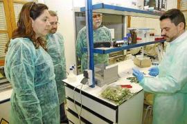 Europa no auditará hasta el mes de junio el avance de la bacteria 'Xylella' en Balears