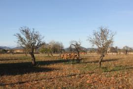 """La Xylella Fastidiosa detectada en Ibiza es de la subespecie """"pauca"""""""