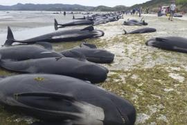 Mueren unas 300 ballenas tras quedar varadas en Nueva Zelanda