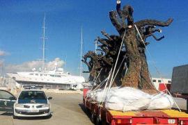El Govern prohíbe sacar de Ibiza material vegetal por la 'Xylella'