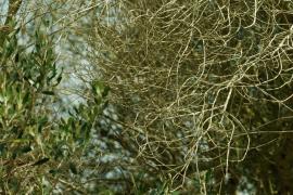 Menorca confirma 16 positivos de la bacteria 'Xylella fastidiosa'