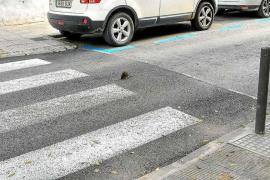 Imagen curiosa de una rata de paseo por Vila