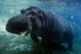 Muere a causa de una paliza el último hipopótamo del Zoológico Nacional de El Salvador