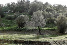 Confirmados 21 positivos por 'xylella' en 119 muestras en Ibiza