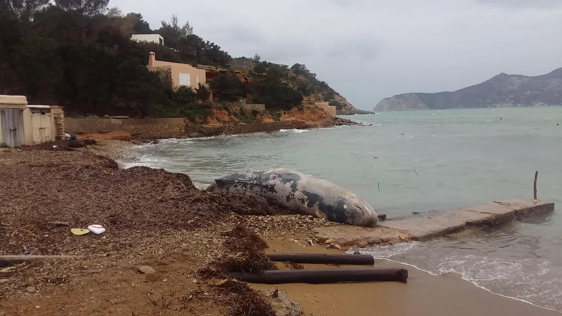 Varado en Porroig un cachalote muerto