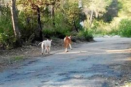 Los animalistas exigen a Sant Josep que Natura Parc no se lleve los podencos de es Cubells