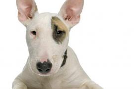 Consideraciones sobre los Perros Potencialmente Peligrosos I