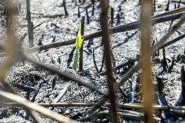La vida vegetal resurge en ses Feixes des Prat de Vila diez días después del fuego