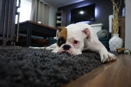 El Congreso, sin el PP, aprueba prohibir la amputación de la cola de los perros