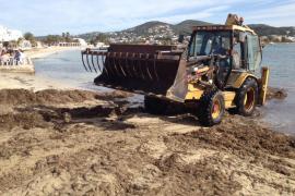 Vila implanta un sistema de recogida sostenible de la posidonia en las playas