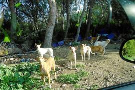 Can Dog se ofrece para recuperar los perros de es Cubells y así evitar que vayan a Mallorca
