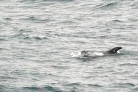 Aumenta la población de cetáceos en el Mediterráneo