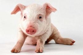 ¿Es posible tener un cerdo como animal de compañía?