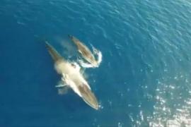 Filman con un dron a una ballena amamantando a su cría en la costa catalana del Garraf