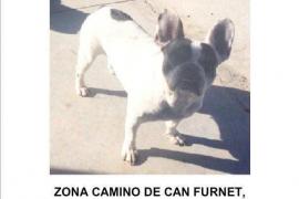 Denuncian la desaparición de un bulldog francés que habían dejado a una cuidadora de perros