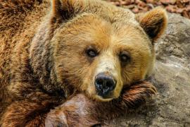 Un oso mata a un potro de dos días cerca de Vilamòs, Lleida
