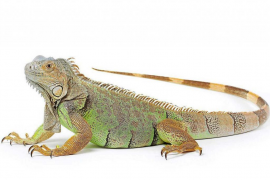 ¿Cómo debo cuidar a mi iguana?