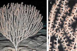 Descubren un bosque del casi extinguido coral bambú al este de Ibiza y Formentera