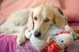 ¿Qué es el embarazo psicológico en las perras?